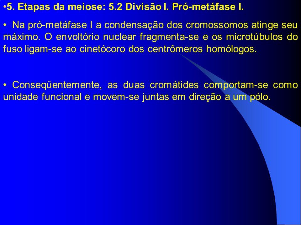 5. Etapas da meiose: 5.2 Divisão I. Pró-metáfase I. Na pró-metáfase I a condensação dos cromossomos atinge seu máximo. O envoltório nuclear fragmenta-