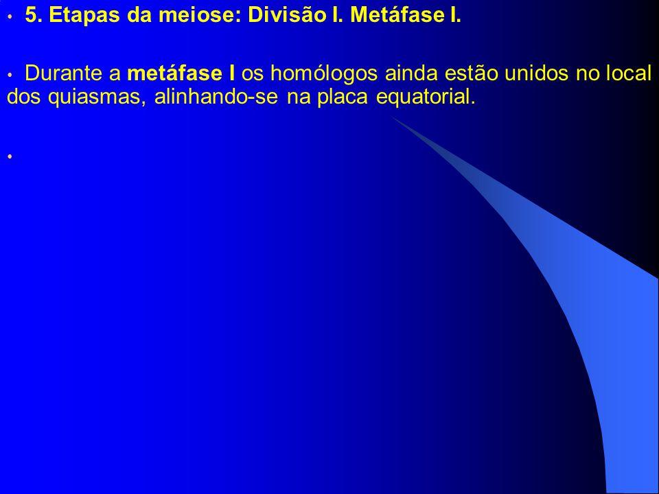 5. Etapas da meiose: Divisão I. Metáfase I. Durante a metáfase I os homólogos ainda estão unidos no local dos quiasmas, alinhando-se na placa equatori