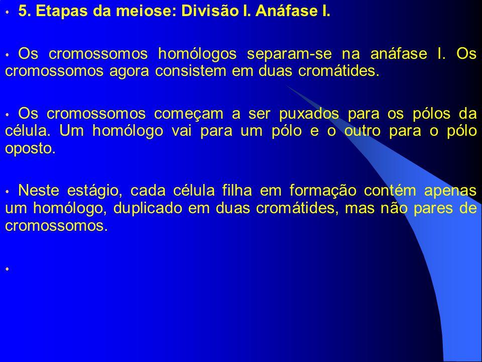 5.Etapas da meiose: Divisão I. Anáfase I. Os cromossomos homólogos separam-se na anáfase I.