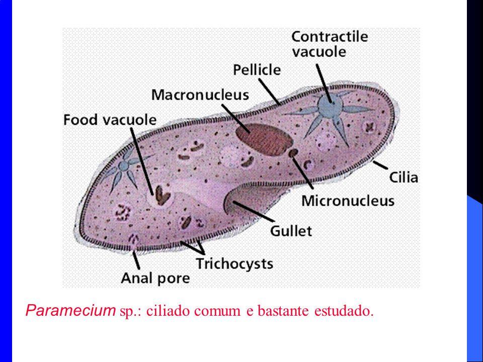 Paramecium sp.: ciliado comum e bastante estudado.