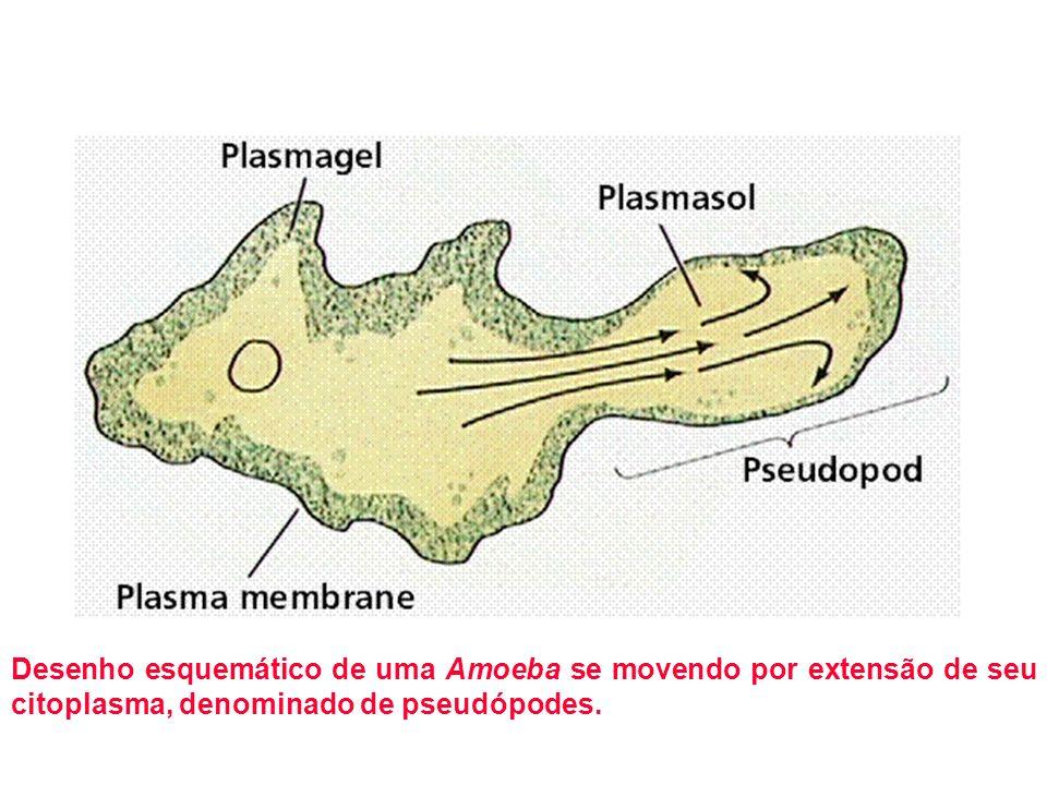 Desenho esquemático de uma Amoeba se movendo por extensão de seu citoplasma, denominado de pseudópodes.