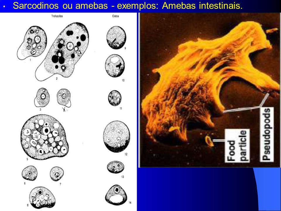 Sarcodinos ou amebas - exemplos: Amebas intestinais.