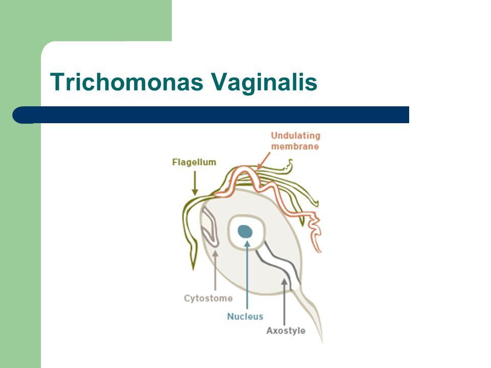 Sintomas na mulher O T.vaginalis infecta principalmente o epitélio escamoso do sistema genital.