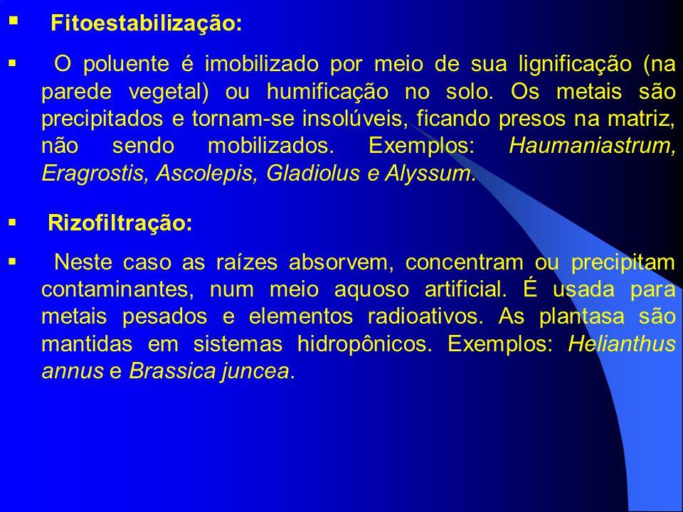 Fitoestabilização: O poluente é imobilizado por meio de sua lignificação (na parede vegetal) ou humificação no solo. Os metais são precipitados e torn