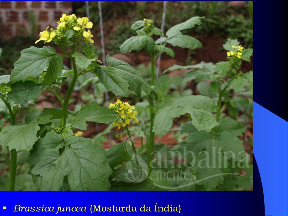 Brassica juncea (Mostarda da Índia)