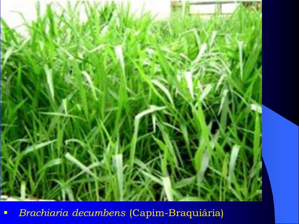 Brachiaria decumbens (Capim-Braquiária)