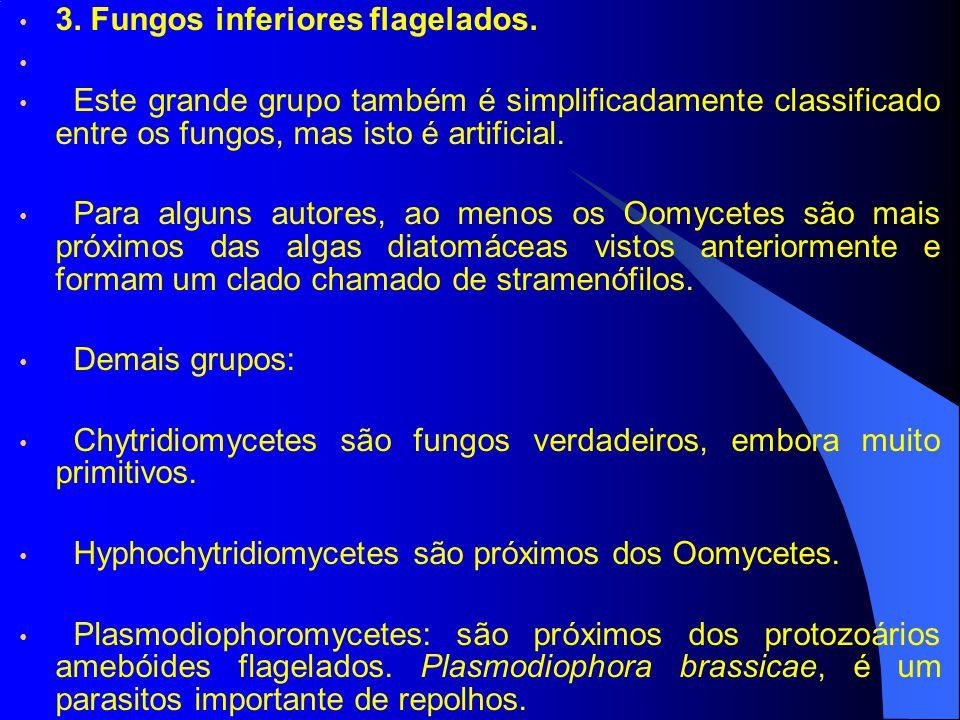 3. Fungos inferiores flagelados. Este grande grupo também é simplificadamente classificado entre os fungos, mas isto é artificial. Para alguns autores