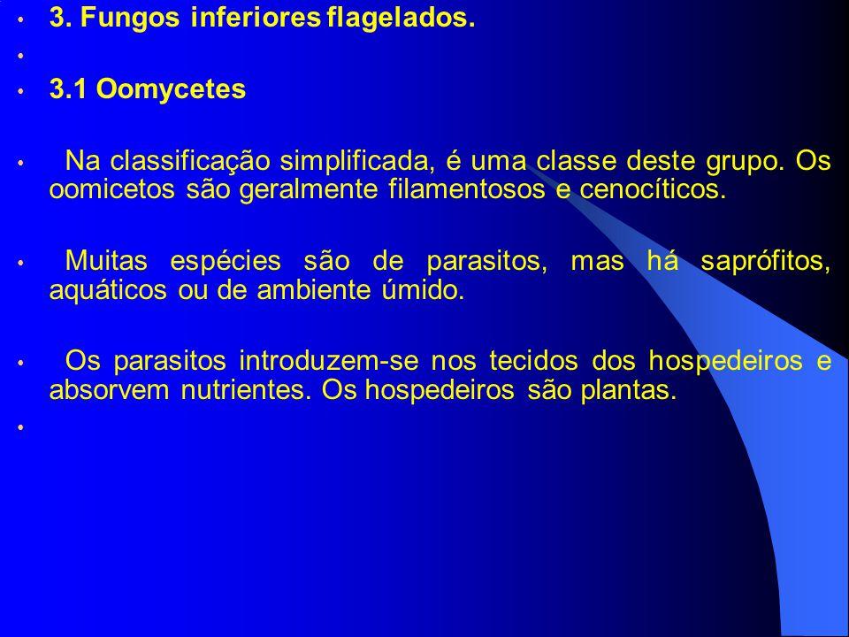 3. Fungos inferiores flagelados. 3.1 Oomycetes Na classificação simplificada, é uma classe deste grupo. Os oomicetos são geralmente filamentosos e cen