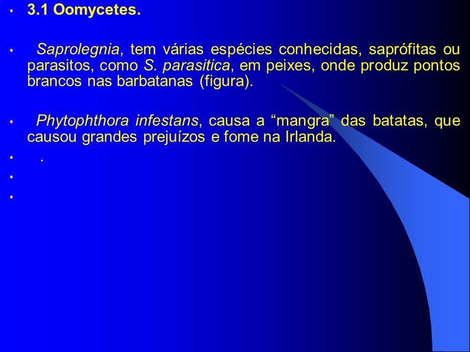 3.1 Oomycetes. Saprolegnia, tem várias espécies conhecidas, saprófitas ou parasitos, como S. parasitica, em peixes, onde produz pontos brancos nas bar
