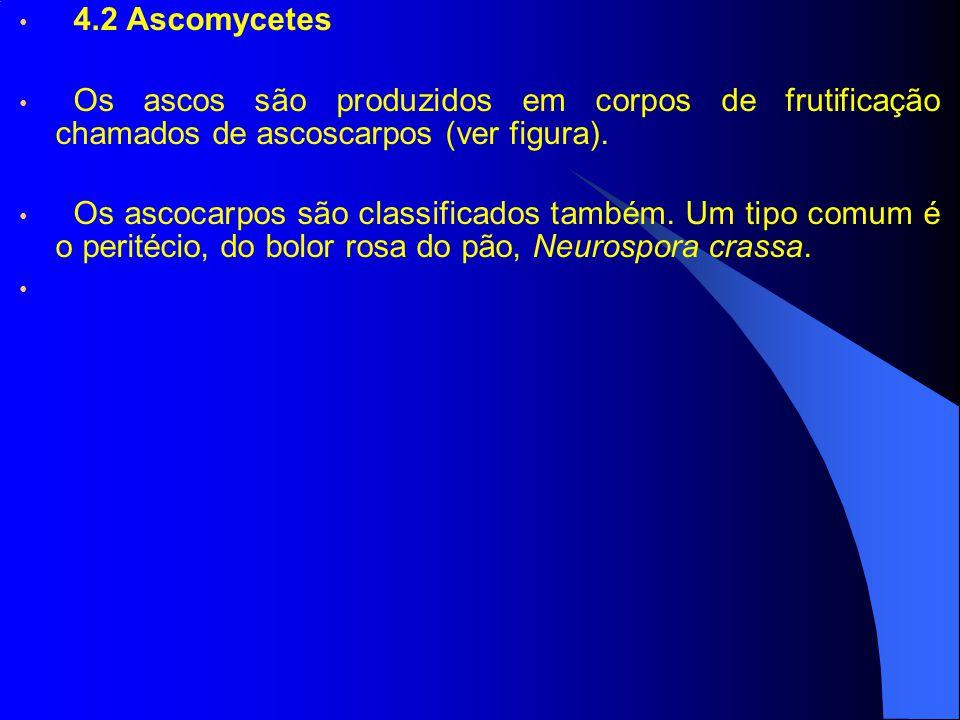 4.2 Ascomycetes Os ascos são produzidos em corpos de frutificação chamados de ascoscarpos (ver figura). Os ascocarpos são classificados também. Um tip