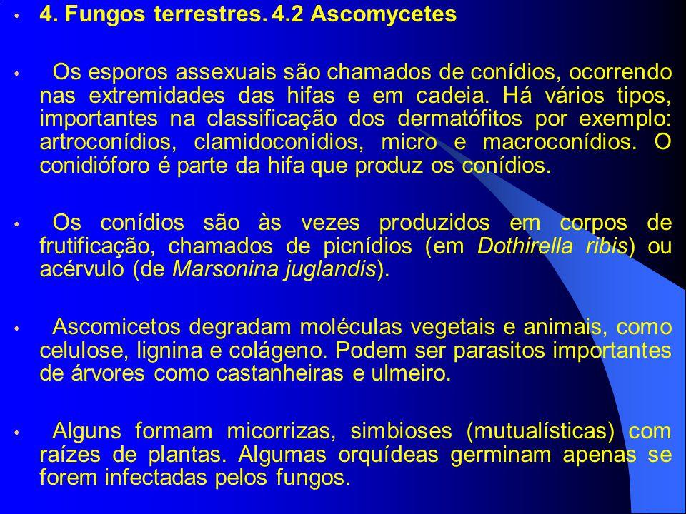 4. Fungos terrestres. 4.2 Ascomycetes Os esporos assexuais são chamados de conídios, ocorrendo nas extremidades das hifas e em cadeia. Há vários tipos