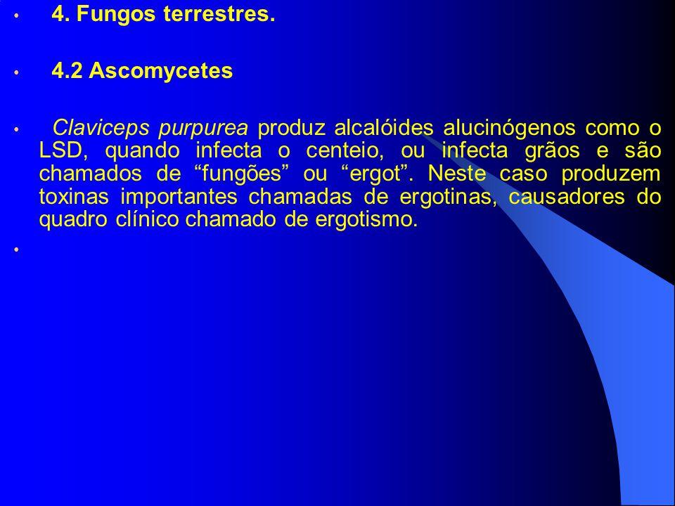 4. Fungos terrestres. 4.2 Ascomycetes Claviceps purpurea produz alcalóides alucinógenos como o LSD, quando infecta o centeio, ou infecta grãos e são c