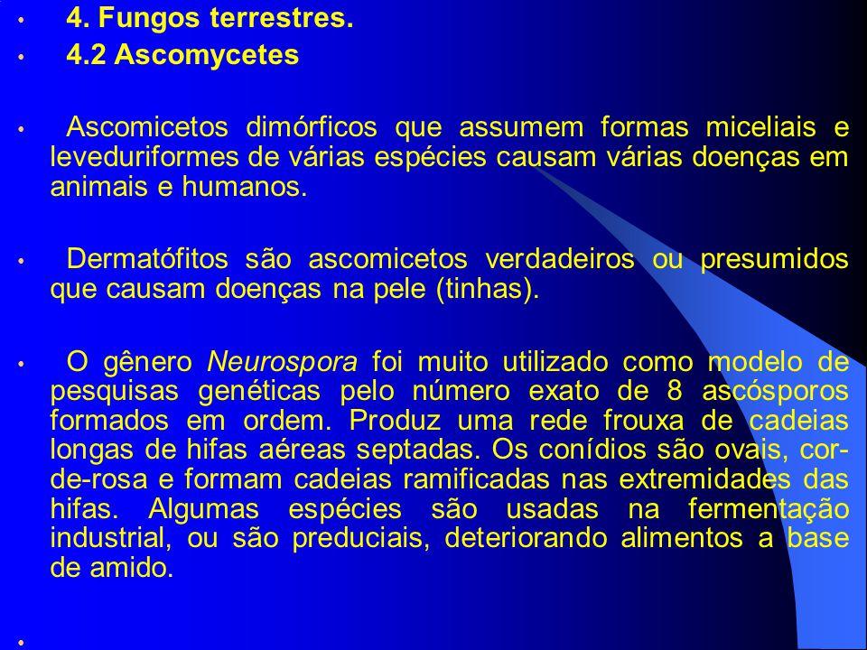 4. Fungos terrestres. 4.2 Ascomycetes Ascomicetos dimórficos que assumem formas miceliais e leveduriformes de várias espécies causam várias doenças em