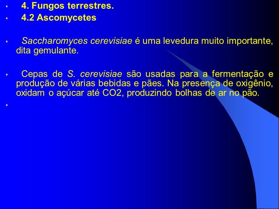 4. Fungos terrestres. 4.2 Ascomycetes Saccharomyces cerevisiae é uma levedura muito importante, dita gemulante. Cepas de S. cerevisiae são usadas para