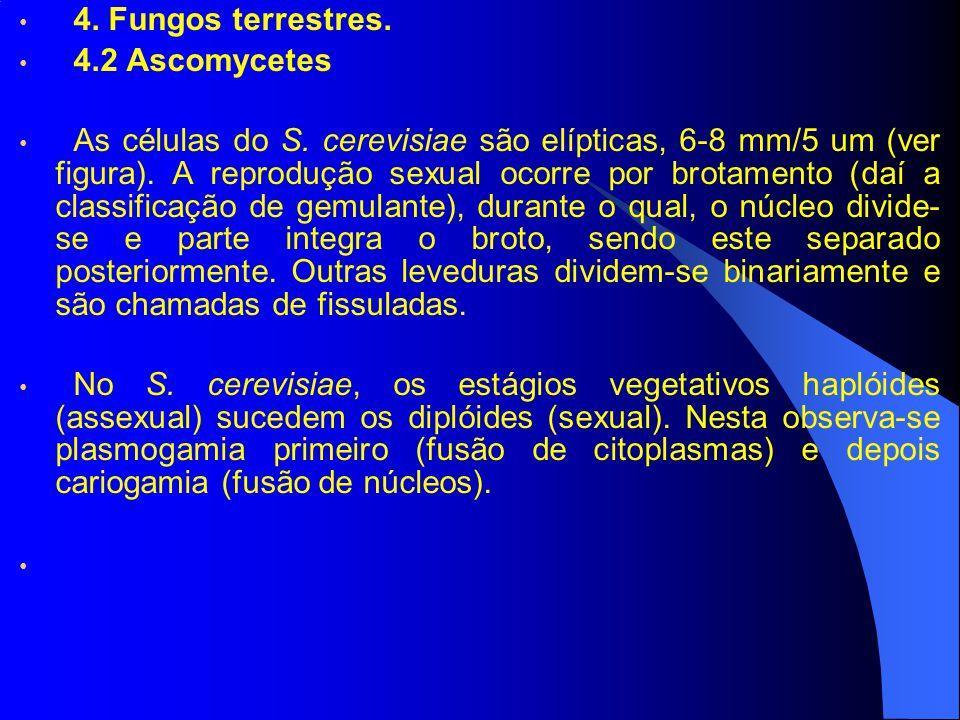 4. Fungos terrestres. 4.2 Ascomycetes As células do S. cerevisiae são elípticas, 6-8 mm/5 um (ver figura). A reprodução sexual ocorre por brotamento (