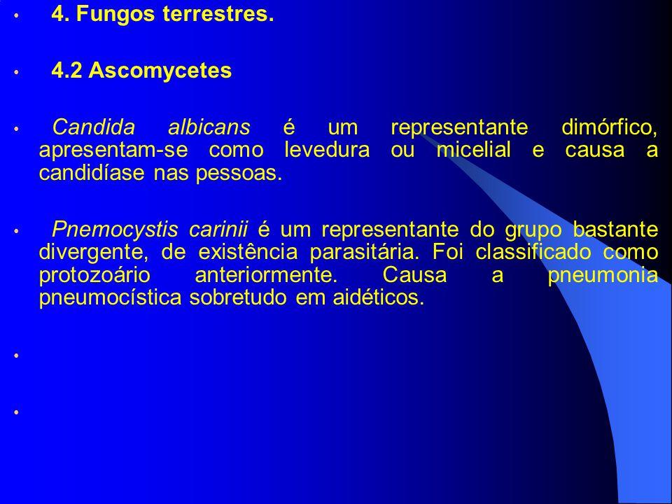 4. Fungos terrestres. 4.2 Ascomycetes Candida albicans é um representante dimórfico, apresentam-se como levedura ou micelial e causa a candidíase nas
