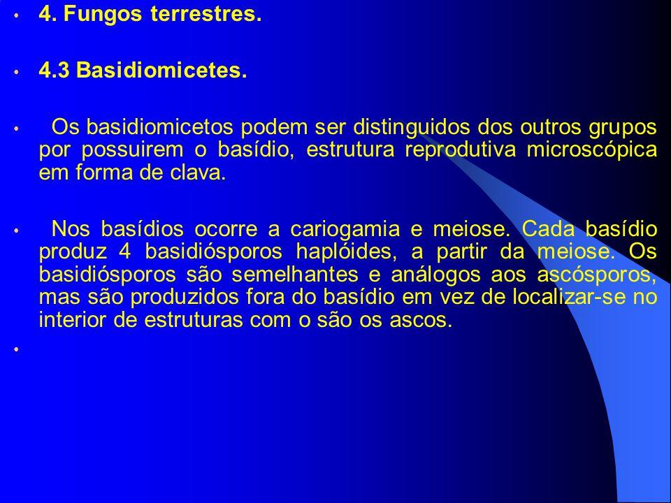 4. Fungos terrestres. 4.3 Basidiomicetes. Os basidiomicetos podem ser distinguidos dos outros grupos por possuirem o basídio, estrutura reprodutiva mi