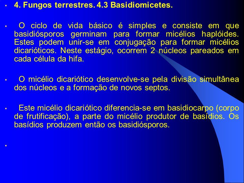 4. Fungos terrestres. 4.3 Basidiomicetes. O ciclo de vida básico é simples e consiste em que basidiósporos germinam para formar micélios haplóides. Es