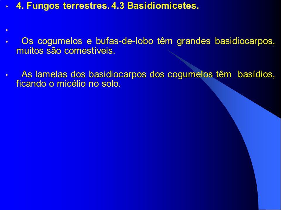4. Fungos terrestres. 4.3 Basidiomicetes. Os cogumelos e bufas-de-lobo têm grandes basidiocarpos, muitos são comestíveis. As lamelas dos basidiocarpos