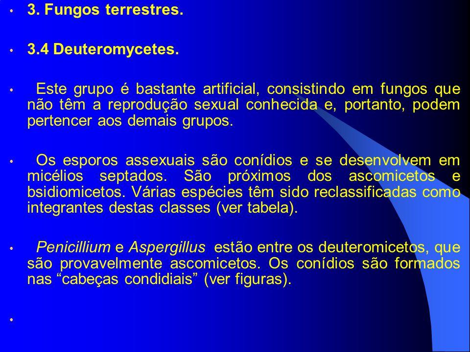 3. Fungos terrestres. 3.4 Deuteromycetes. Este grupo é bastante artificial, consistindo em fungos que não têm a reprodução sexual conhecida e, portant