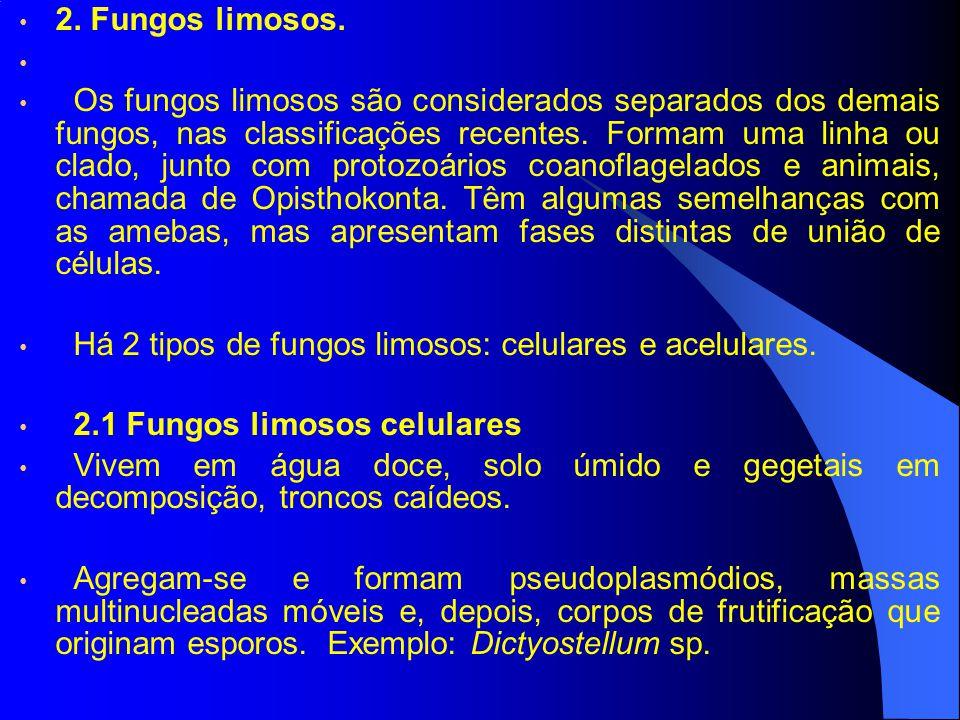 2. Fungos limosos. Os fungos limosos são considerados separados dos demais fungos, nas classificações recentes. Formam uma linha ou clado, junto com p