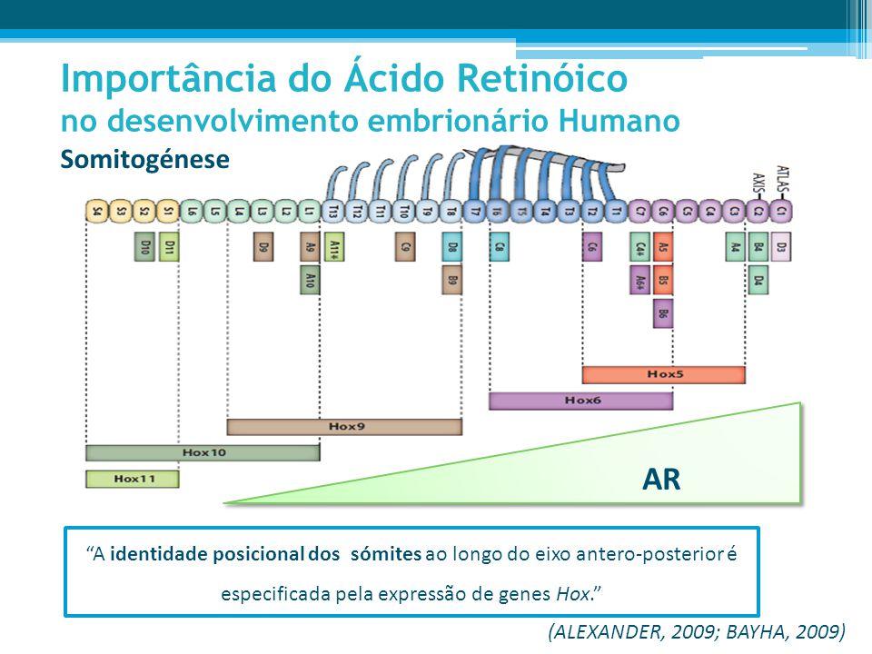 Somitogénese Importância do Ácido Retinóico no desenvolvimento embrionário Humano (ALEXANDER, 2009; BAYHA, 2009) AR A identidade posicional dos sómites ao longo do eixo antero-posterior é especificada pela expressão de genes Hox.