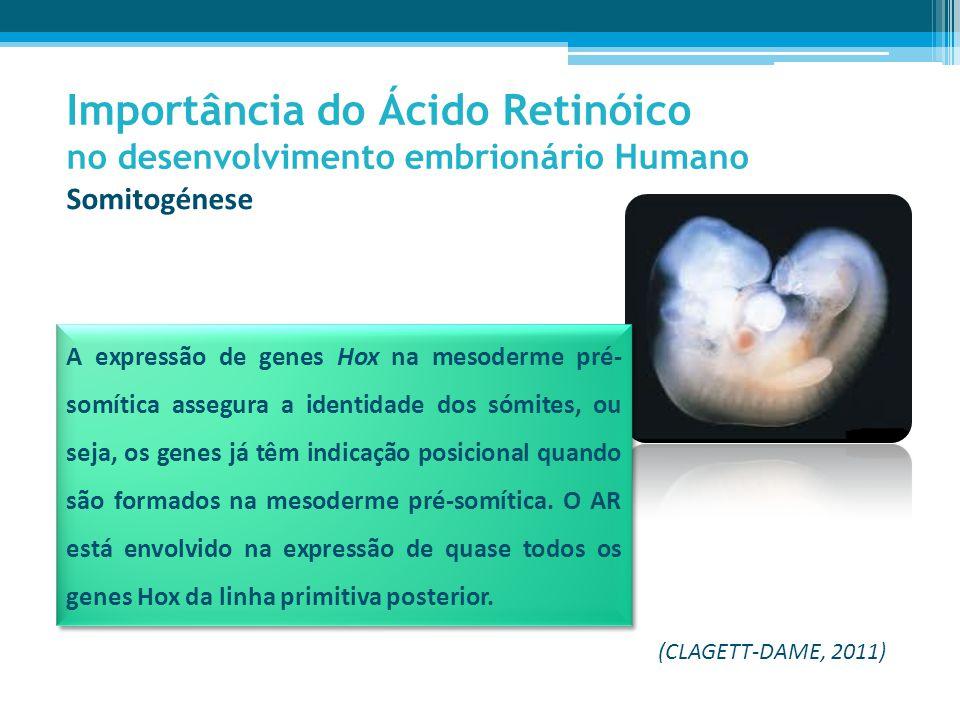 Importância do Ácido Retinóico no desenvolvimento embrionário Humano Somitogénese A expressão de genes Hox na mesoderme pré- somítica assegura a identidade dos sómites, ou seja, os genes já têm indicação posicional quando são formados na mesoderme pré-somítica.