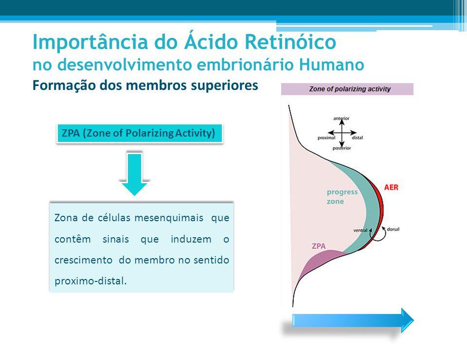 Importância do Ácido Retinóico no desenvolvimento embrionário Humano Formação dos membros superiores ZPA (Zone of Polarizing Activity) Zona de células mesenquimais que contêm sinais que induzem o crescimento do membro no sentido proximo-distal.