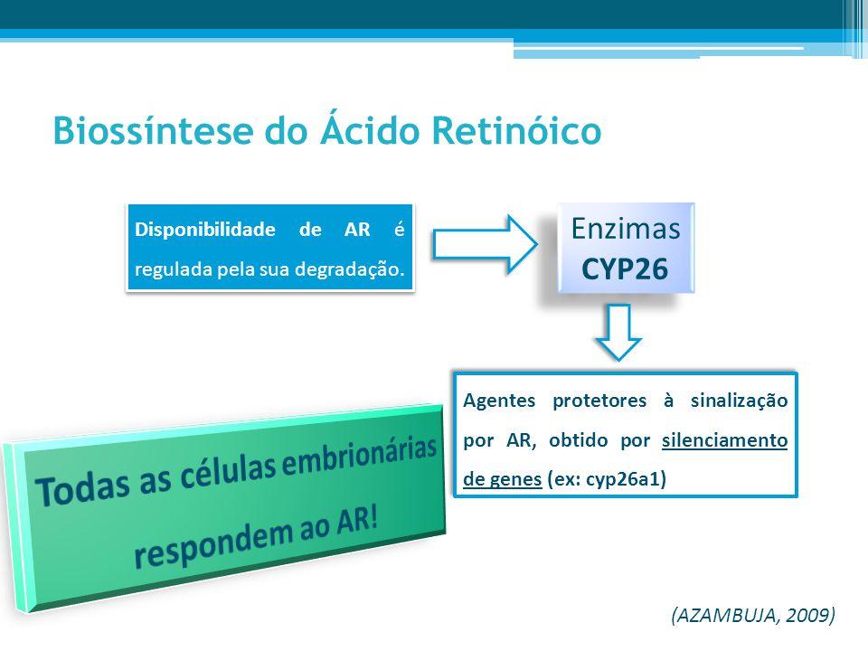 Dois tipos de recetores nucleares: * RAR (α, β e γ) * RXR (α, β e γ) Via de Sinalização do Ácido Retinóico Fatores de transcrição: Reconhecem e ligam-se a sequências específicas de DNA, ativando ou inibindo a transcrição de genes-alvo (por exemplo a activação de genes Hox).