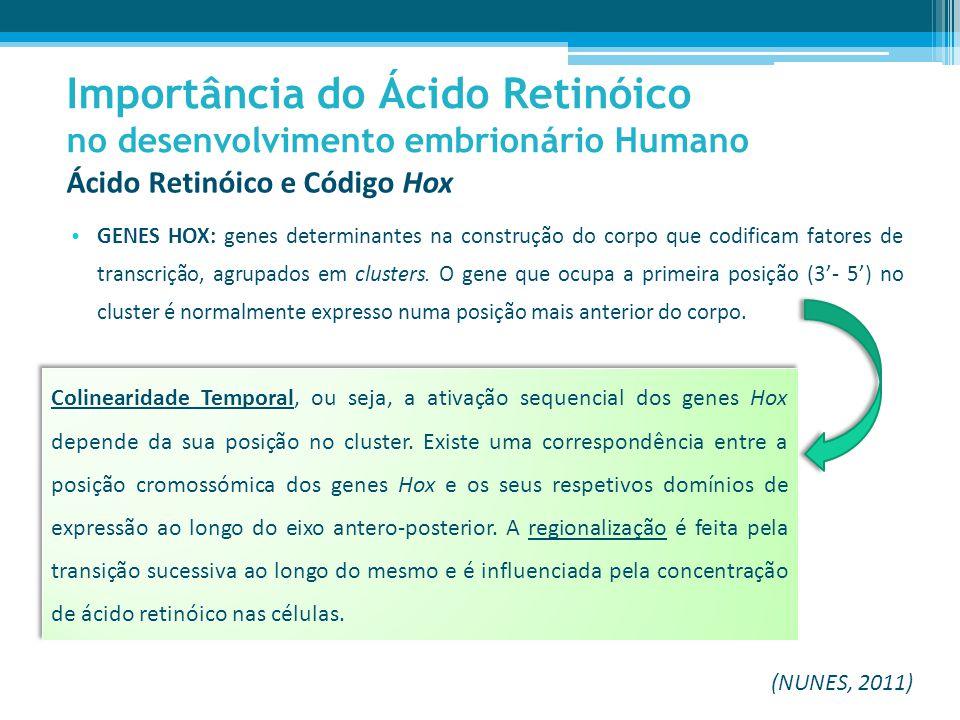 Ácido Retinóico e Código Hox GENES HOX: genes determinantes na construção do corpo que codificam fatores de transcrição, agrupados em clusters.