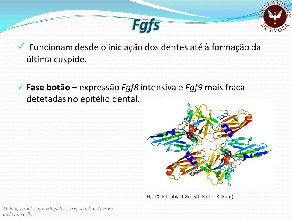 Funcionam desde o iniciação dos dentes até à formação da última cúspide. Fase botão – expressão Fgf8 intensiva e Fgf9 mais fraca detetadas no epitélio