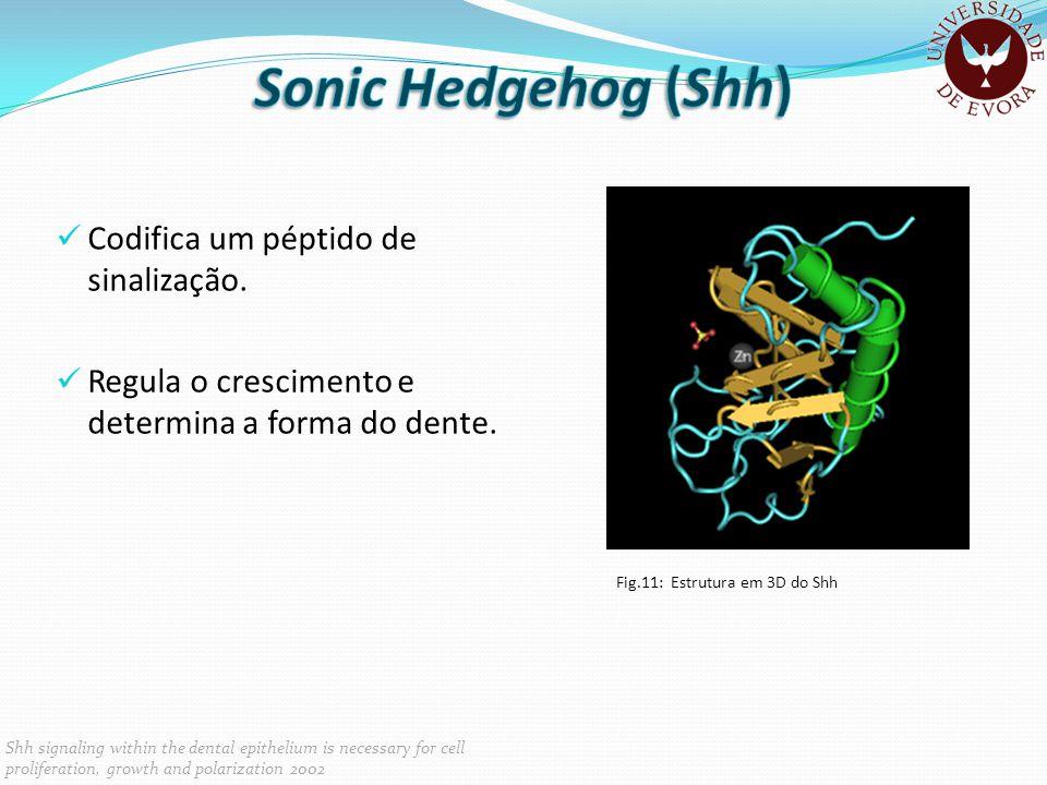Codifica um péptido de sinalização. Regula o crescimento e determina a forma do dente. Fig.11: Estrutura em 3D do Shh Shh signaling within the dental