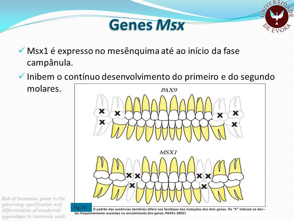 Msx1 é expresso no mesênquima até ao início da fase campânula. Inibem o contínuo desenvolvimento do primeiro e do segundo molares. Role of homeobox ge