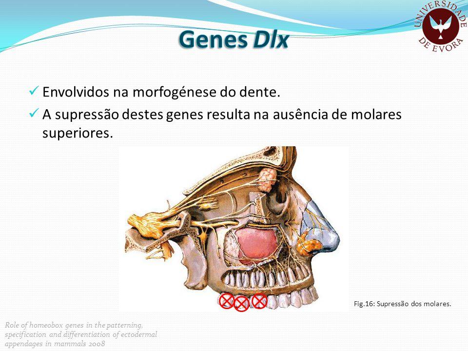 Envolvidos na morfogénese do dente. A supressão destes genes resulta na ausência de molares superiores. Fig.16: Supressão dos molares. Role of homeobo