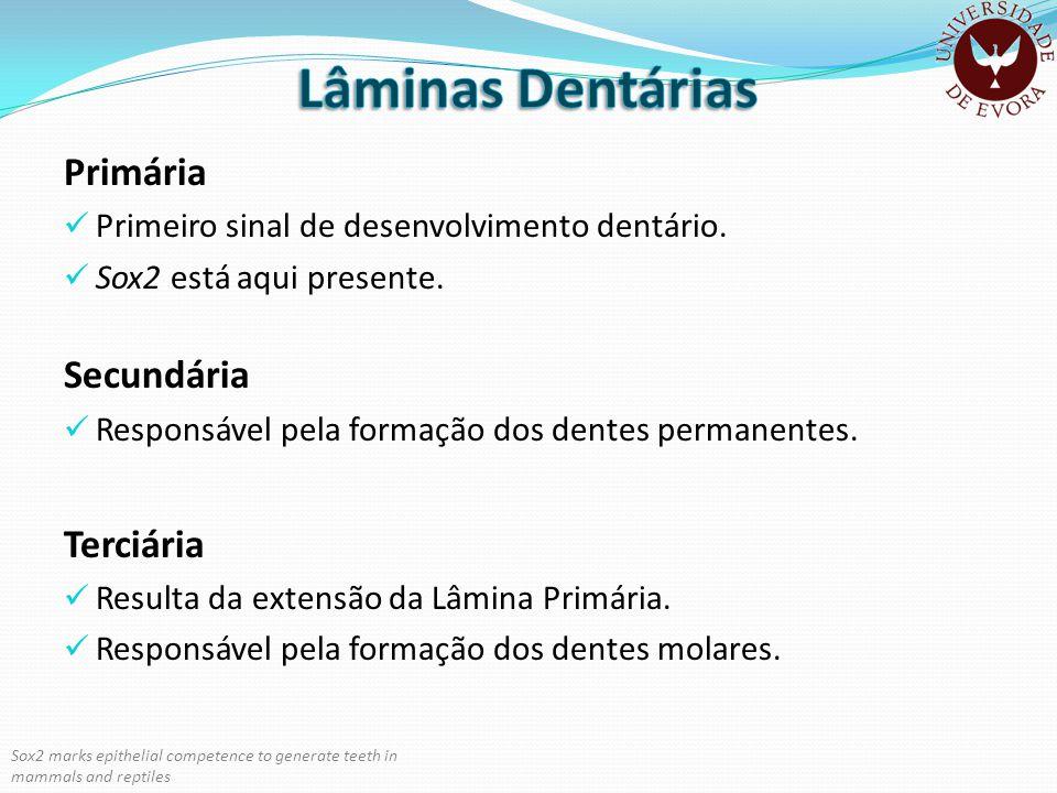 Primária Primeiro sinal de desenvolvimento dentário. Sox2 está aqui presente. Secundária Responsável pela formação dos dentes permanentes. Terciária R
