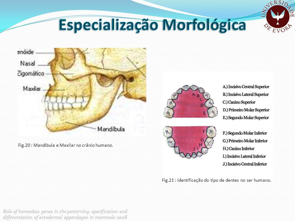 Fig.20 : Mandibula e Maxilar no crânio humano. Fig.21 : Identificação do tipo de dentes no ser humano. Role of homeobox genes in the patterning, speci