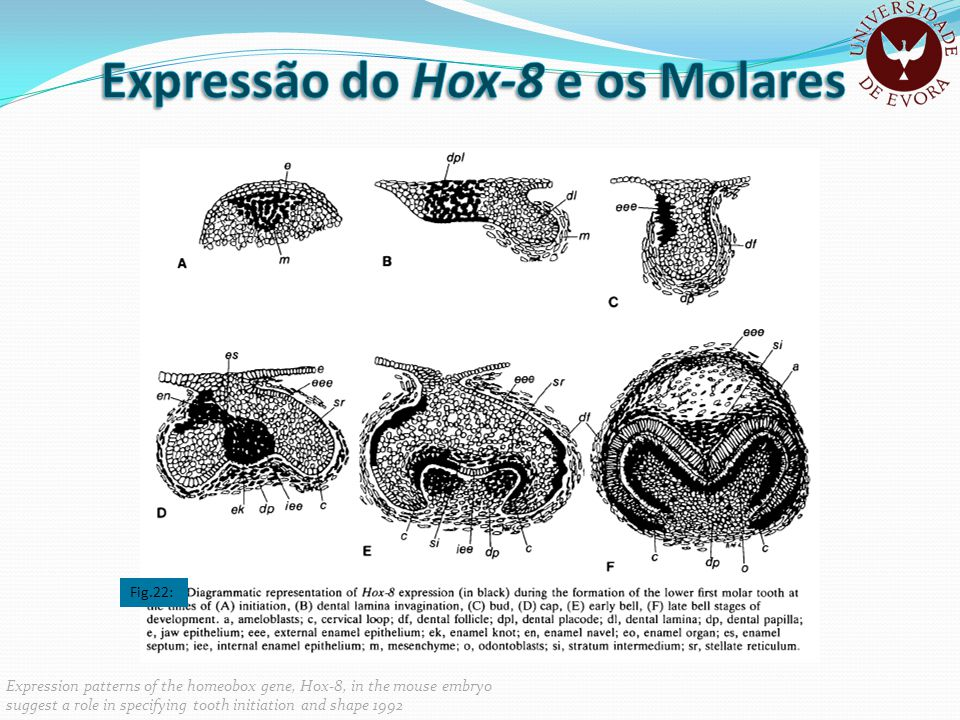 Expression patterns of the homeobox gene, Hox-8, in the mouse embryo suggest a role in specifying tooth initiation and shape 1992 Fig.22: