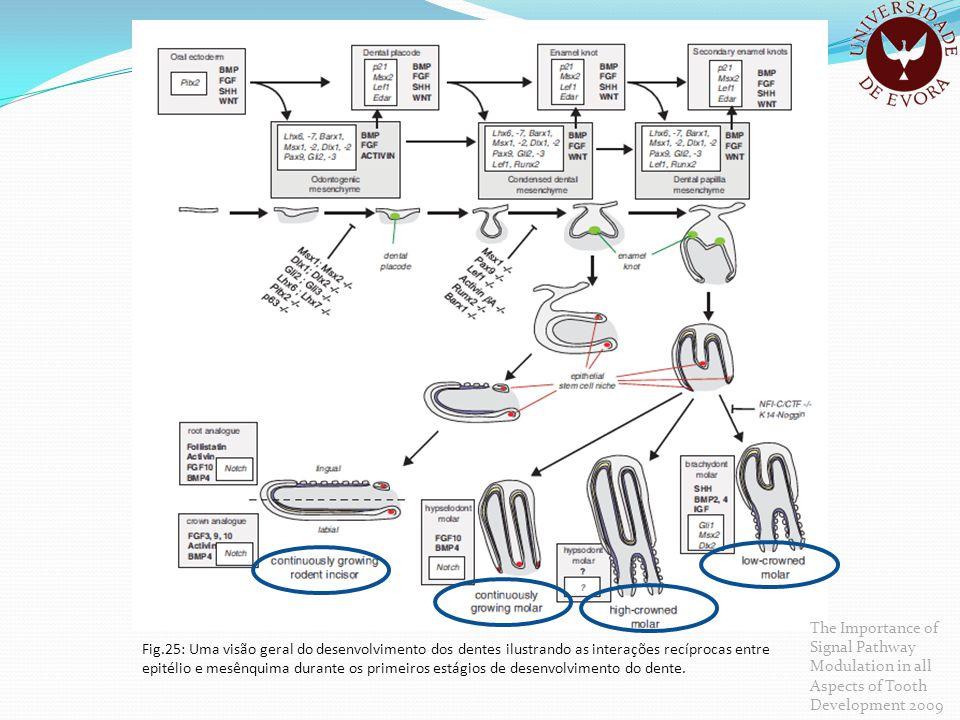 Fig.25: Uma visão geral do desenvolvimento dos dentes ilustrando as interações recíprocas entre epitélio e mesênquima durante os primeiros estágios de