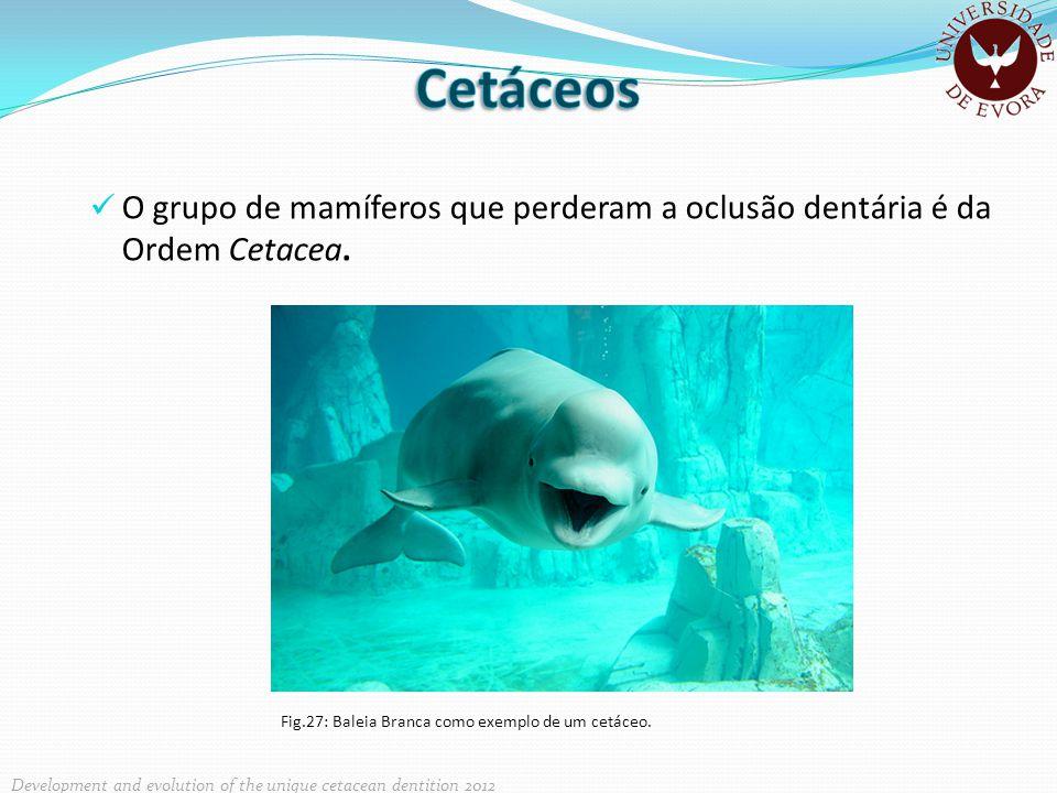 O grupo de mamíferos que perderam a oclusão dentária é da Ordem Cetacea. Fig.27: Baleia Branca como exemplo de um cetáceo. Development and evolution o