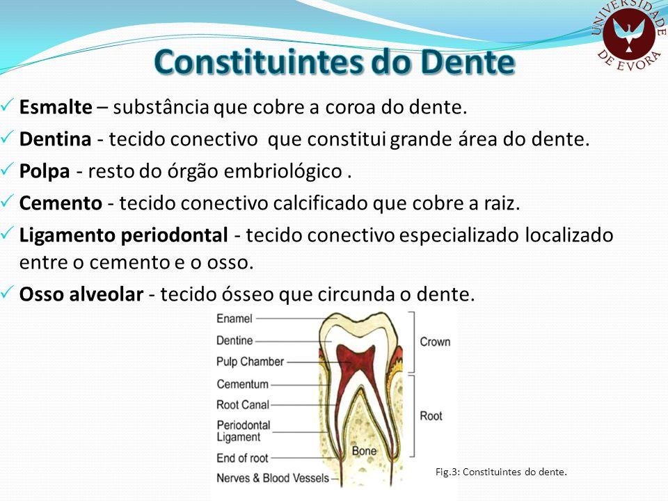 Esmalte – substância que cobre a coroa do dente. Dentina - tecido conectivo que constitui grande área do dente. Polpa - resto do órgão embriológico. C