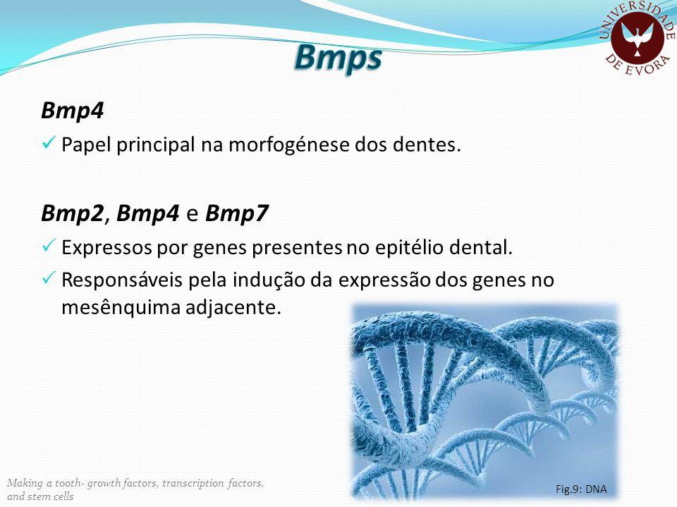 Bmp4 Papel principal na morfogénese dos dentes. Bmp2, Bmp4 e Bmp7 Expressos por genes presentes no epitélio dental. Responsáveis pela indução da expre