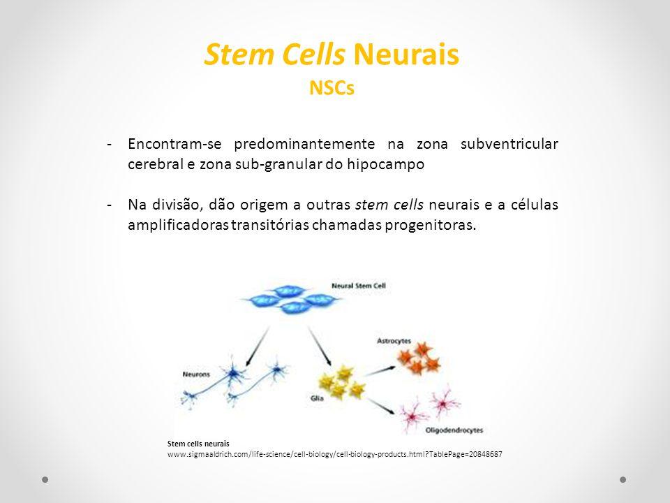 -Encontram-se predominantemente na zona subventricular cerebral e zona sub-granular do hipocampo -Na divisão, dão origem a outras stem cells neurais e