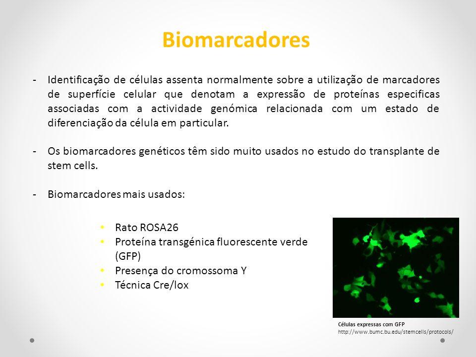 Rato ROSA26 Proteína transgénica fluorescente verde (GFP) Presença do cromossoma Y Técnica Cre/lox Biomarcadores -Identificação de células assenta nor