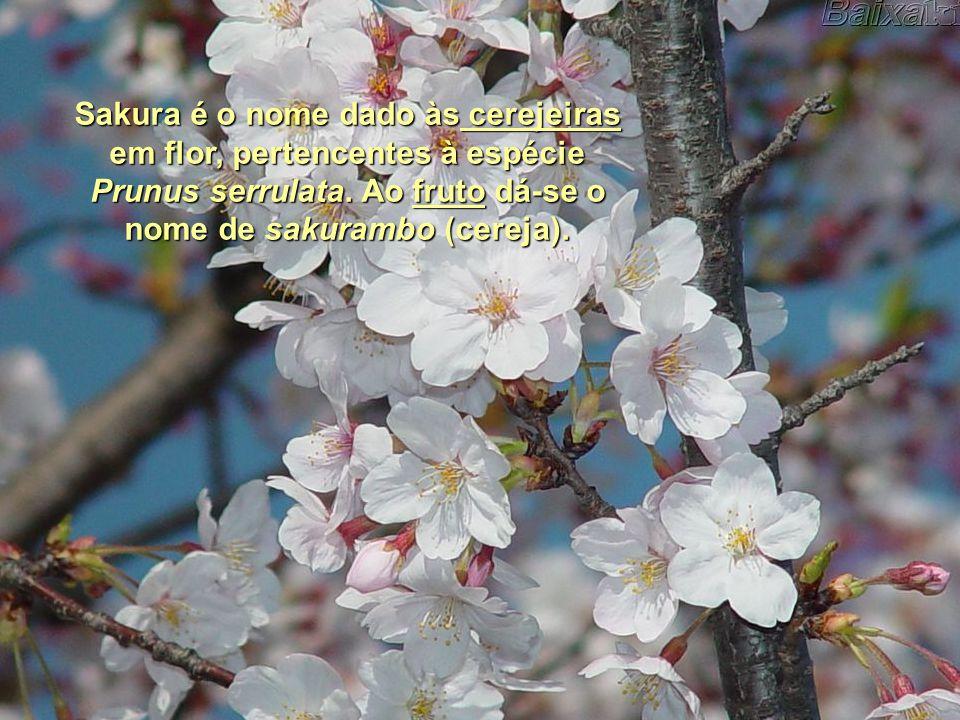 Sakura é o nome dado às c c c c c eeee rrrr eeee jjjj eeee iiii rrrr aaaa ssssem flor, pertencentes à espécie Prunus serrulata.