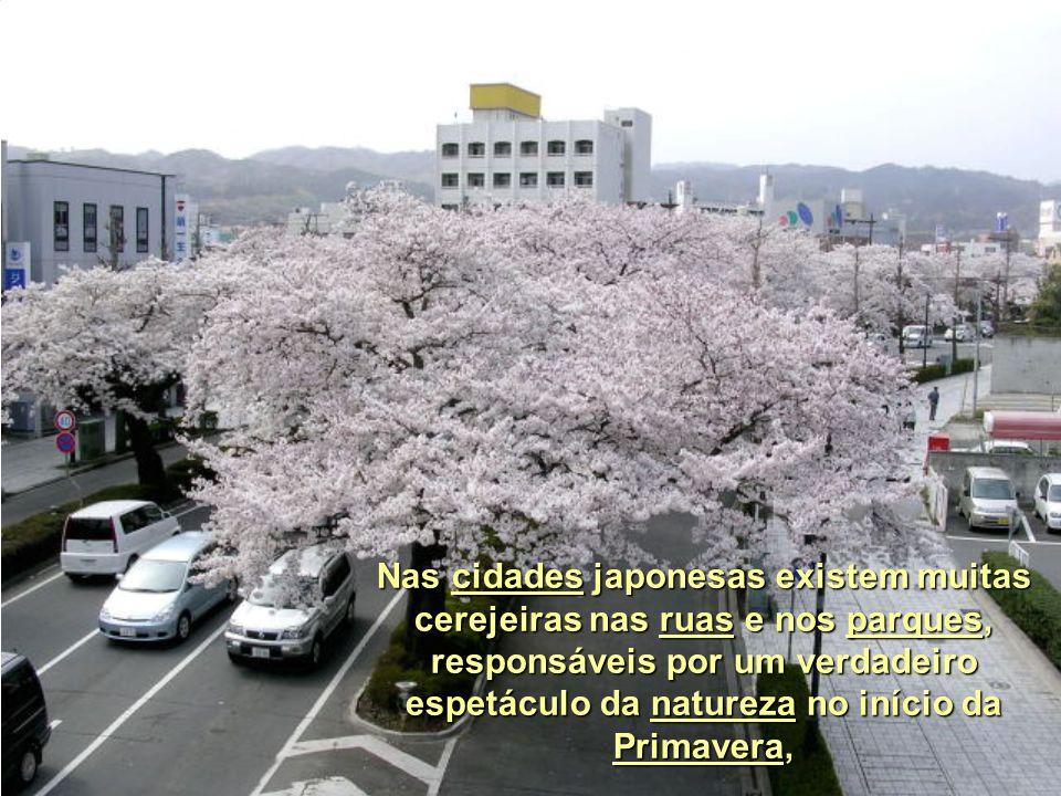 As cerejeiras só florescem uma vez ao ano e dura cerca de uma semana.