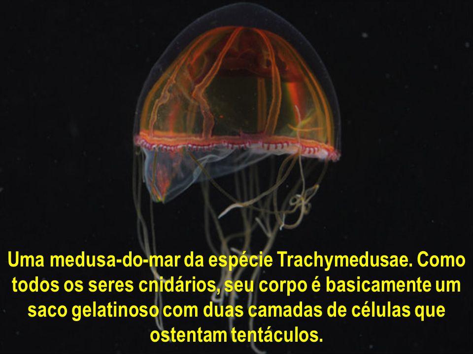 Uma medusa-do-mar da espécie Trachymedusae.