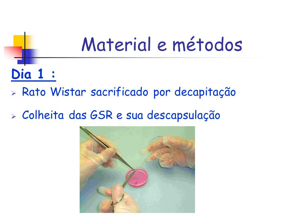 Material e métodos Dia 1 : Rato Wistar sacrificado por decapitação Colheita das GSR e sua descapsulação