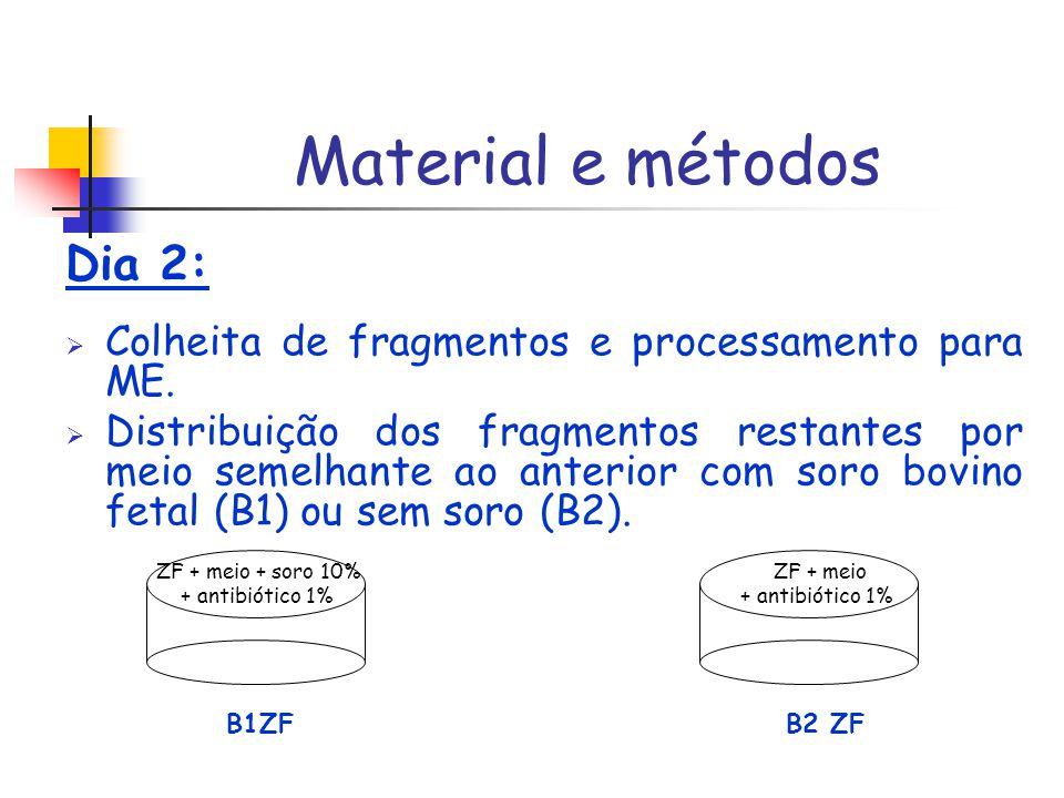 Dia 2: Colheita de fragmentos e processamento para ME. Distribuição dos fragmentos restantes por meio semelhante ao anterior com soro bovino fetal (B1
