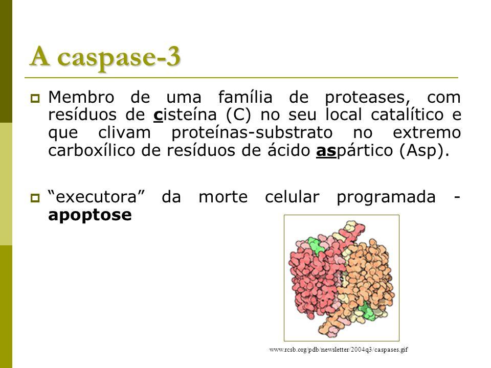 A caspase-3 Membro de uma família de proteases, com resíduos de cisteína (C) no seu local catalítico e que clivam proteínas-substrato no extremo carboxílico de resíduos de ácido aspártico (Asp).