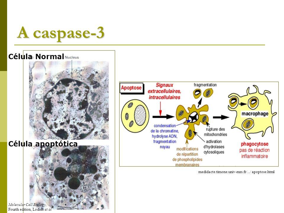 A caspase-3 Célula Normal Célula apoptótica Molecular Cell Biology, Fourth edition, Lodish et al medidacte.timone.univ-mrs.fr/.../ apoptose.html